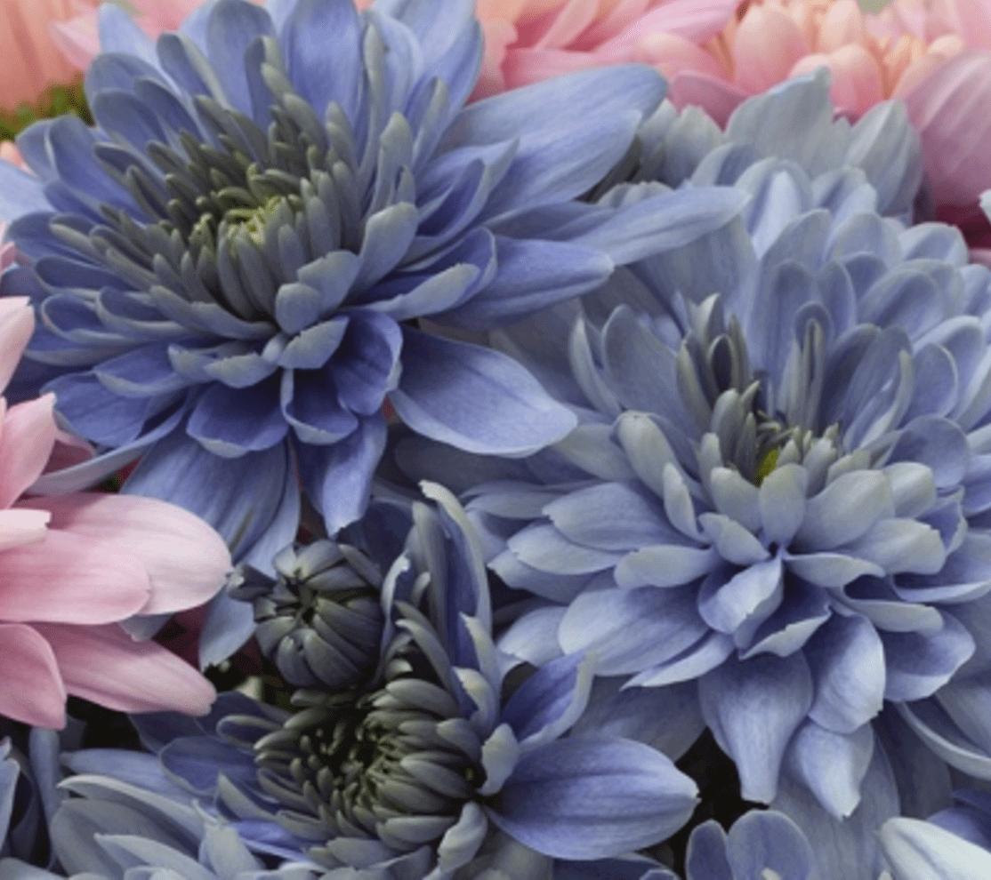 True Blue Chrysanthemum Flowers Created Using Genetic Engineering