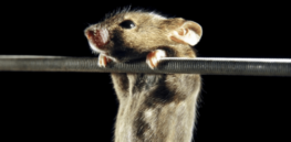 Fountain of youth? Stem cells show promise in slowing aging, rejuvenating brain -- in mice