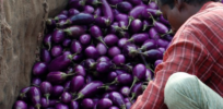 Video: How insect-resistant Bt GMO eggplant rescued Bangladesh's staple crop