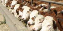 Livestock feedlots more sustainable than organic cattle grazing, research shows
