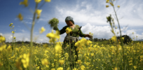 Activists in India put GMO mustard in regulatory limbo