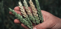 Gene silencing could control disease, contamination in wheat and other crops