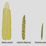 Artificial selection: 10 non-GMO crops that don't look anything like their wild counterpart