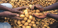 Golden Potatoes: Vitamin-A fortified GMO variety could help tackle childhood blindness in Africa