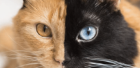 What are the genetics behind this amazing-looking 'two-faced' cat?