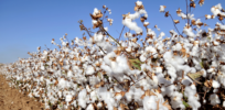GMO Bt cotton poised to revive Philippines' industry, reduce pesticide use