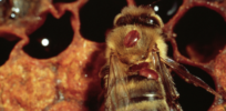 Swiss bee expert: Varroa mites—not neonicotinoid insecticides—primary threat to honeybees