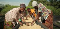 Shifting political climate in Uganda may block greenlighting of GMOs