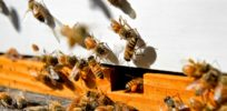 Viewpoint: Challenging claims of a global bee health crisis