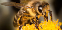 GMOs protect bees by reducing use of more toxic pesticides