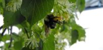 Why are thousands of bumblebees dying around the fragrant Linden trees of London?
