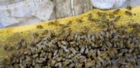 Beepocalypse not now: Canada's honeybee colonies up 10% in 2017 to record high