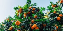 Rice, papaya, oranges -- 3 GMO versions of conventional crops tweaked for humanity's benefit
