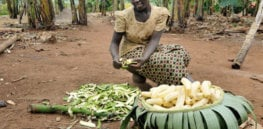 blog photo of the week a boost to ugandas banana production e