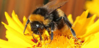Is climate change to blame for disappearing bumblebees?
