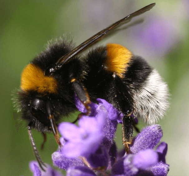 Some wild bee populations are declining. What can we do about it?