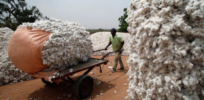 Burkina Faso farmers advocate for return of GMO insect-resistant Bt cotton