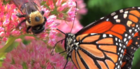 Viewpoint: Canadian monarch butterfly and bee populations thrive as glyphosate use increases