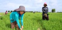 Cambodian government denies presence of GMO crops amidst GM export concerns