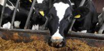 cattleFeeding large