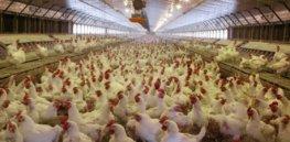chickenpoultryhouse osu