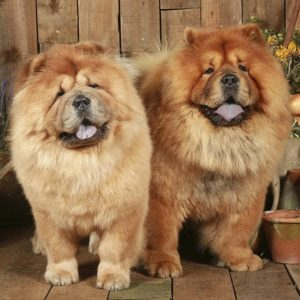 chow chow resized a ac df cf e