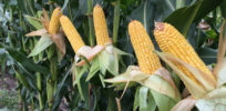 Genetically enhancing the nutrients in corn using synthetic methionine