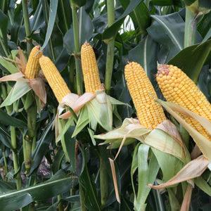 corn resize