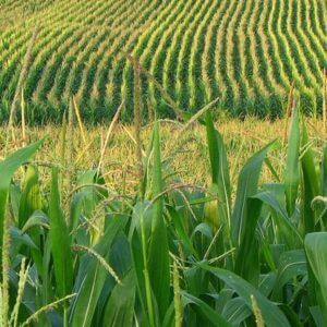 corn field x q crop scale