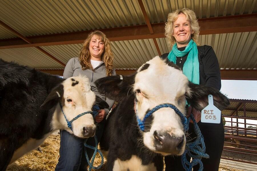 cows ca