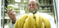 Gene identified for disease resistance in bananas, may stave off 'bananapocalypse'