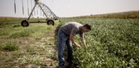 How glyphosate-resistant weeds led to Monsanto's dicamba herbicide crisis