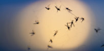 Biopesticides: Creating a mosquito-fighting bacteria wasn't easy—or fast