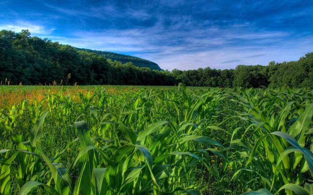 downloadfiles wallpapers corn fields wallpaper plants nature