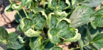 New dicamba application strategies could be key to preventing accidental damage to soybean crops
