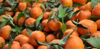 Genetic engineering 'fastest method' to save Florida citrus industry from greening disease