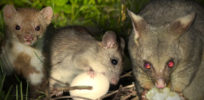 Should we use gene drives to eradicate rats and other pests?