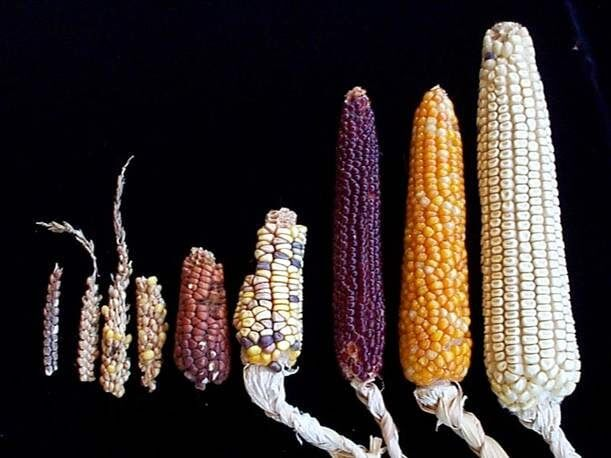 Ancient corn genome could unlock secrets of crop diversity and adaptation