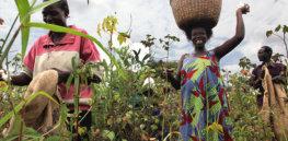 farmers picking cotton in Gulu northern Uganda