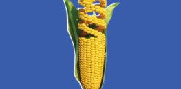 gene corn