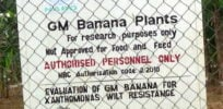 gm banana experiment e
