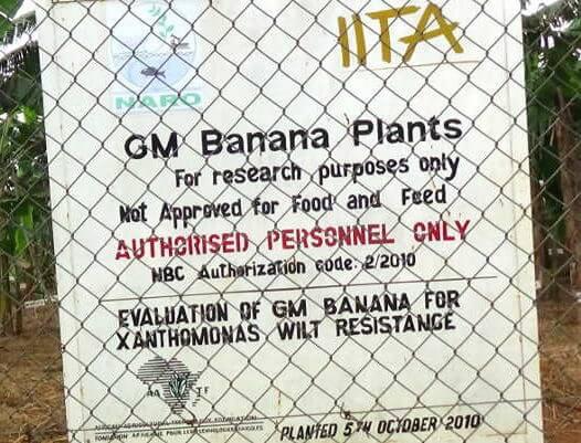 gm banana experiment e