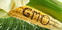 gmo corn word x