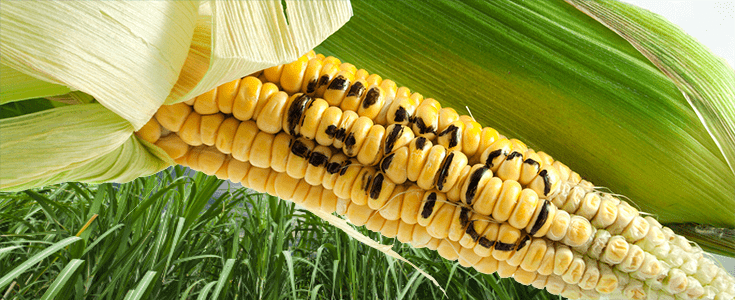 New studies questioning safety of GMO corn 'contain serious flaws,' experts say