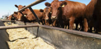 grain fed cattle