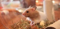 Ethanol injections cure skin cancer in hamsters, offering hope for cheap treatments
