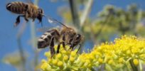 US honey bee population rose 3 percent in last year as colony collapse disorder concerns ease