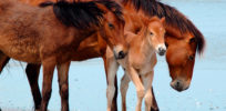 From horses to mice, animal inbreeding has shaped human existence