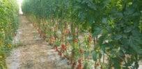 hu TomatoPlantation ItayZemach x