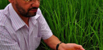 is golden rice panacea or hoax e